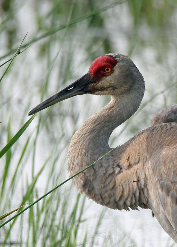 Sandhill Crane at the Horicon Marsh