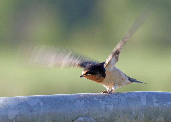 Barn Swallow at the Horicon Marsh
