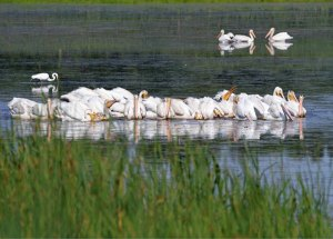 American White Pelicans at the Horicon Marsh