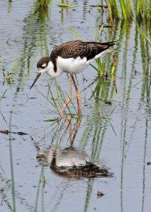 Juvenile Black-necked Stilt at the Horicon Marsh