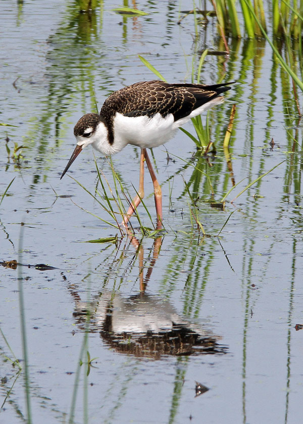 Juvenile Black-necked Stilt at the Horicon Marsh