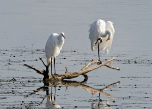 Great Egrets at the Horicon Marsh