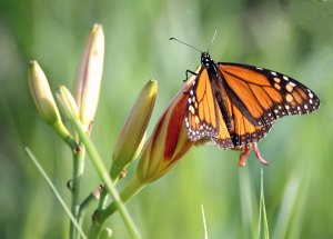 Monarch Butterfly at the Horicon Marsh