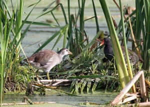 Common Gallinule at the Horicon Marsh