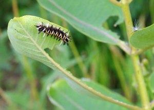 Milkweed Tiger Moth caterpillar at the Horicon Marsh