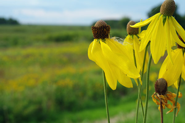 Prairie Coneflower at the Horicon Marsh