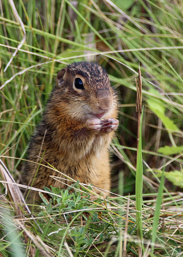 Chipmunk at the Horicon Marsh