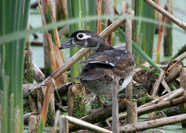 Female Wood Duck at the Horicon Marsh