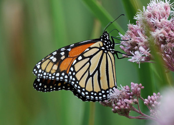 Monarch Butterfly on Joe-Pye Weed at the Horicon Marsh