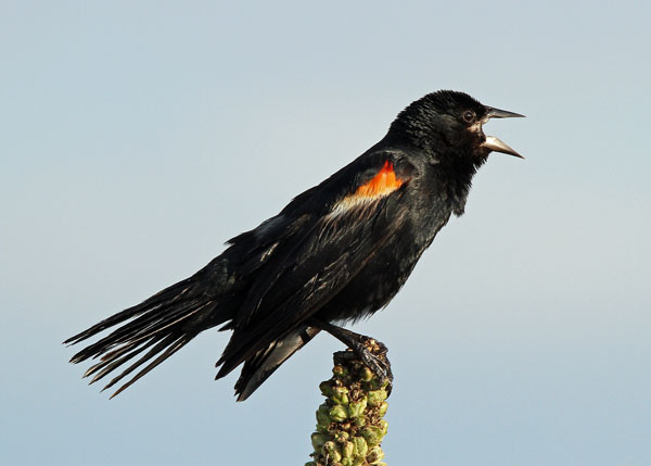 Red-winged Blackbird at the Horcion Marsh
