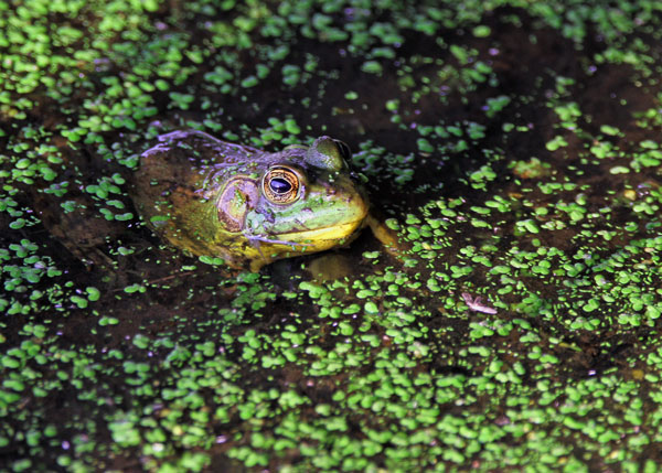 Frog at the Horicon Marsh