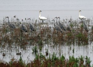 Trumpeter Swans and Sandhill Cranes at the Horicon Marsh