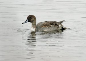 Northern Pintail at the Horicon Marsh
