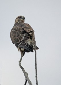 Rough-legged Hawk at the Horicon Marsh