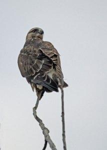 Rough-legged Hawk at the Horicon Marsh