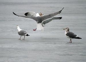 Herring Gulls at the Horicon Marsh