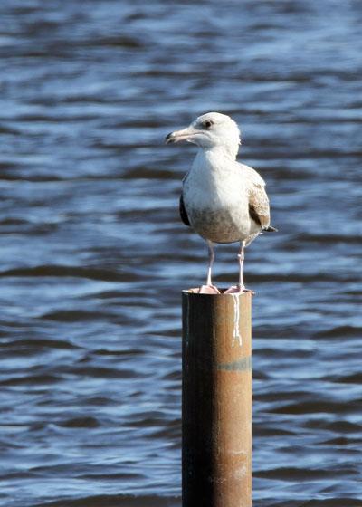 Gull at the Horicon Marsh