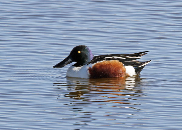 Northern Shoveler at the Horicon Marsh