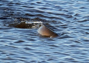 Fish at the Horicon Marsh