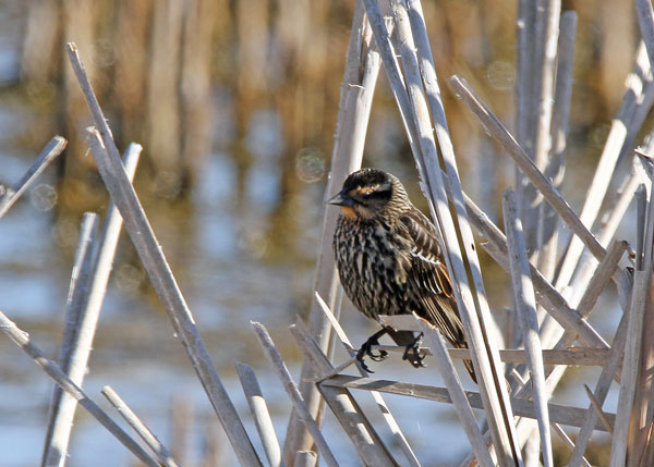 Female Red-winged Blackbird at the Horicon Marsh