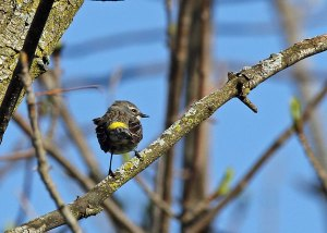Yellow-rumped Warbler at the Horicon Marsh