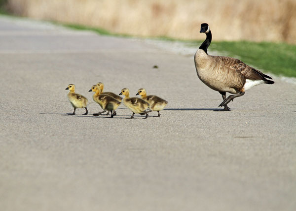 Canada Goose with Goslings at the Horicon Marsh
