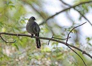 Gray Catbird at the Horicon Marsh