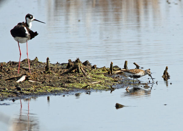 Black-necked Stilt and Dunlin at the Horicon Marsh