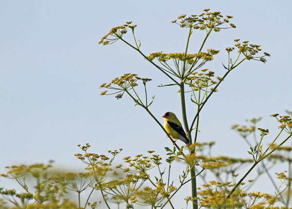 Goldfinch Perched on Wild Parsnip at the Horicon Marsh