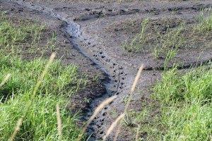 Muskrat Tracks at the Horicon Marsh