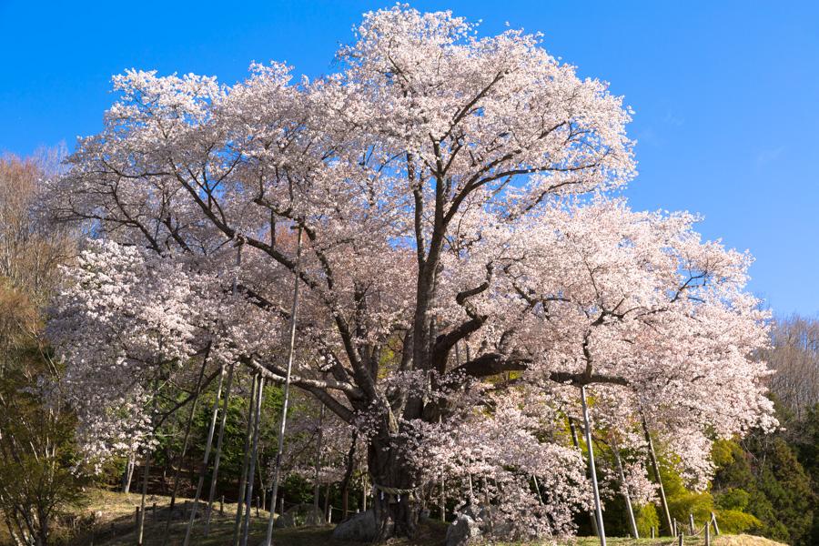 古殿町にあり、国内最大級のヤマザクラ、越代の桜