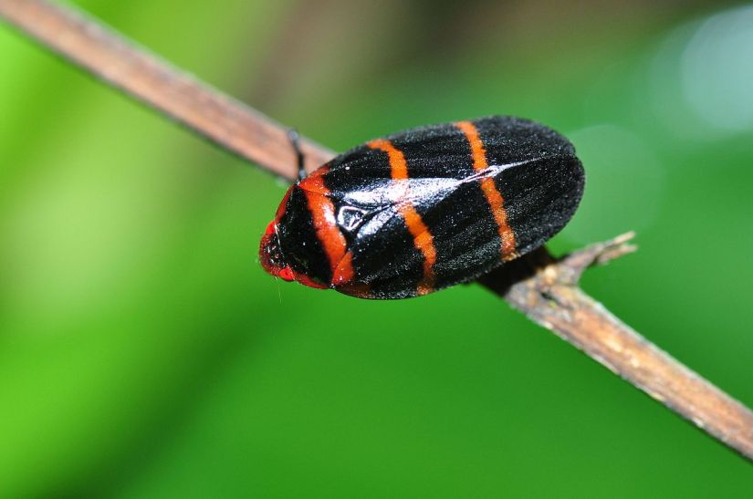 Spittlebugs are among the insects that carry the Xyella fastidiosa bacteria and infect plants as they feed. Image credit - Pavel Kirillov/Wikimedia commons, licenced under CC BY-SA 2.0