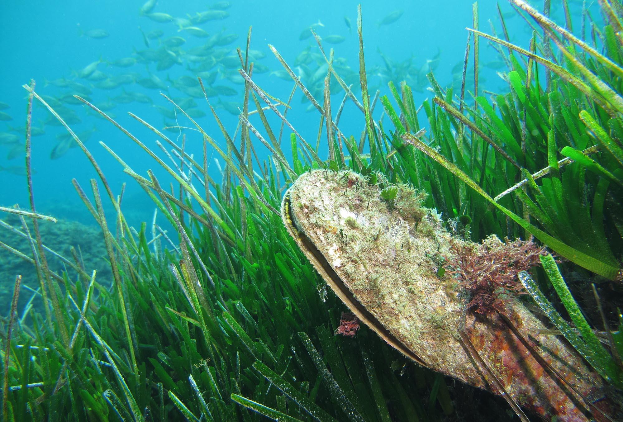 Image credit - Fan mussel (Pinna nobilis) by Arnaud Abadie is licensed under CC BY 2.0