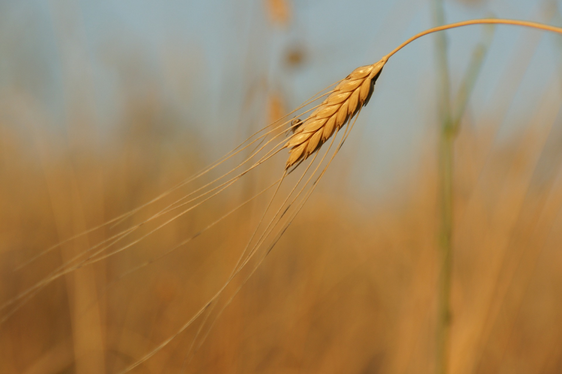 Minor cereals such as einkorn can add to the diversity of our food production.