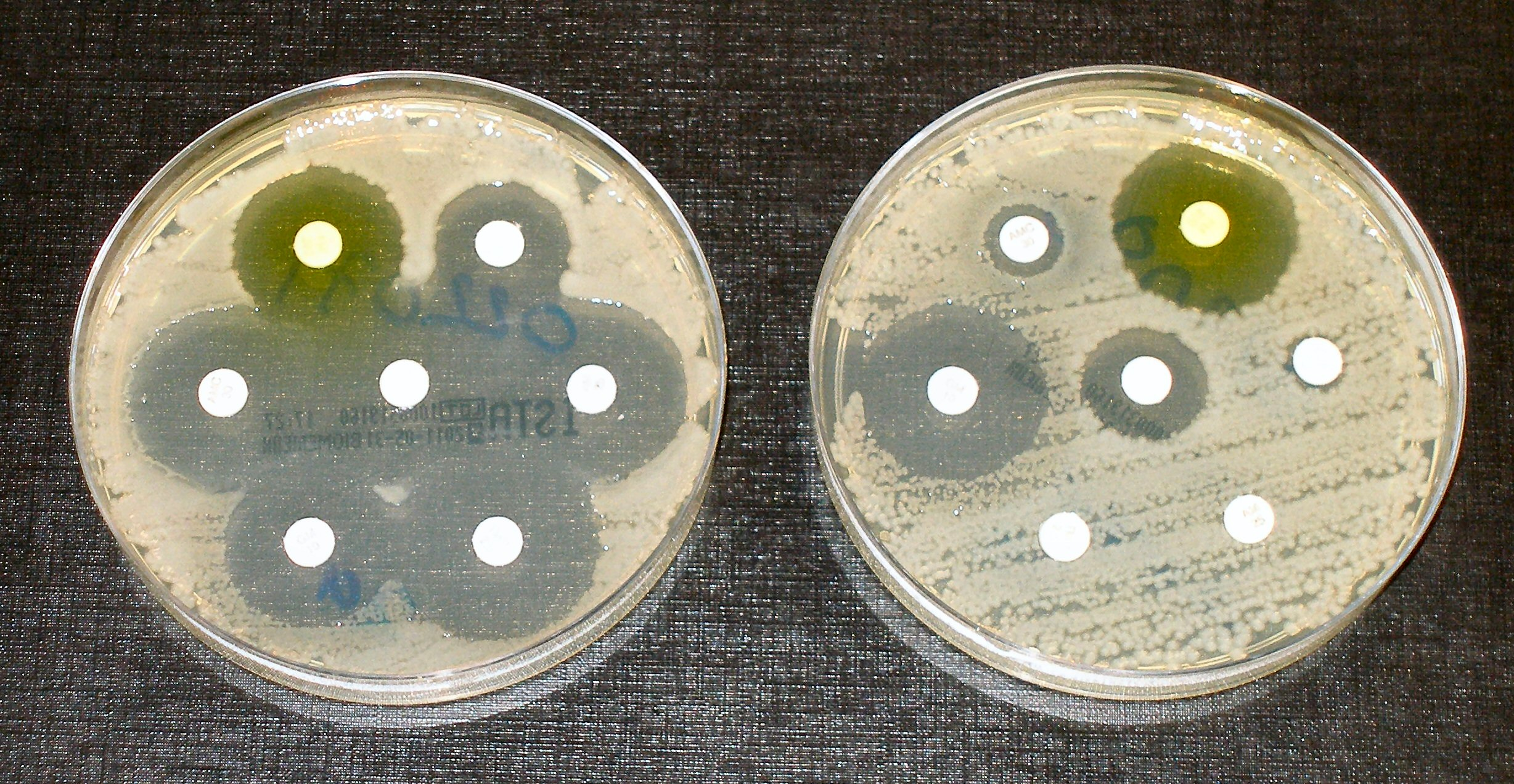 When bacteria develop antibiotic resistance (in the dish on the right), they can grow even in the presence of antibiotics (in the white discs). Image credit - Dr Graham Beards, licensed under CC BY-SA 4.0