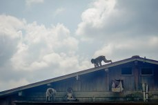 """The next day we took a trip to Arashiyama, a neighborhood in north western Kyoto, and hiked up the trail to """"Monkey Mountain."""" A troop of wild Japanese Macaques call this area home and are fed regularly by tourists. They were climbing on the roof of this building and then jumping into the man made swimming hole to cool off."""