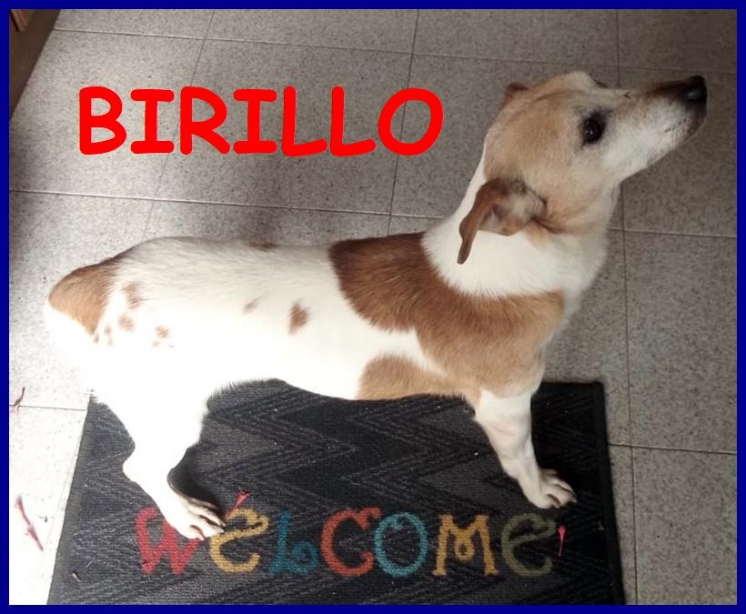 BIRILLO jack russel puro 8 mesi cerca nuova famiglia