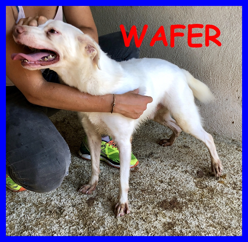 WAFER simil labrador super coccoloso in canile tutta la vita