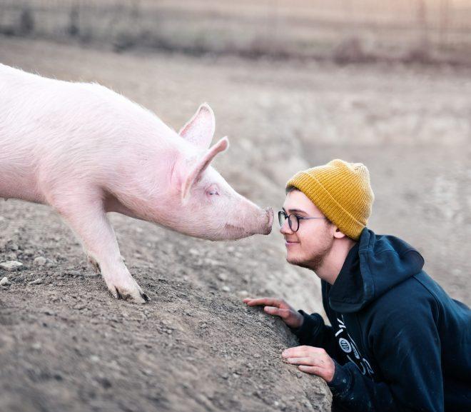 Pig Thyroid is Best?