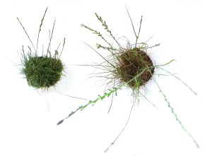 1 - Johnsons Campaign for Quality - Johnsons Lawn Seed (L) v low quality competitor (R)