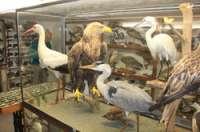 Horneburger Vogelsammlung