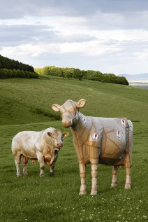 Model Cow Wrapped & Real Bull