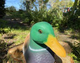 Male Mallard Duck Model