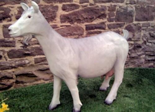 Life Size Grey Nanny Goat Model