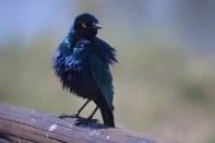 ruffled cape glossy starling