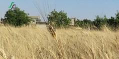ذهب القمح يزين حقول الخير – تلبيسة – حمص – عدسة محمود بكور