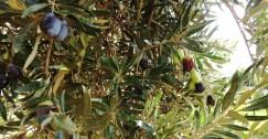 أسباب تراجع زراعة الزيتون في شمالي حمص