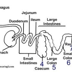 Horse Gi Diagram Electrical Panel Wiring Symbols S Digestive System And Accessory Glands Horsecaring 5 Picture