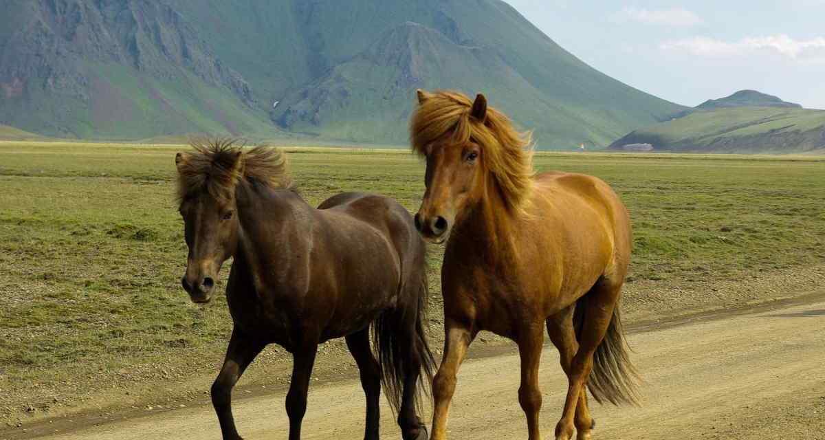 Hest eller pony. Hvorfor er islænderen en hest? | HORSECONSULT®
