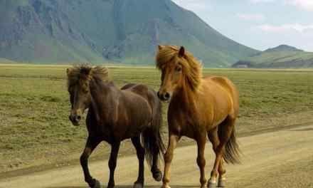 Hest eller pony. Hvorfor er islænderen en hest?